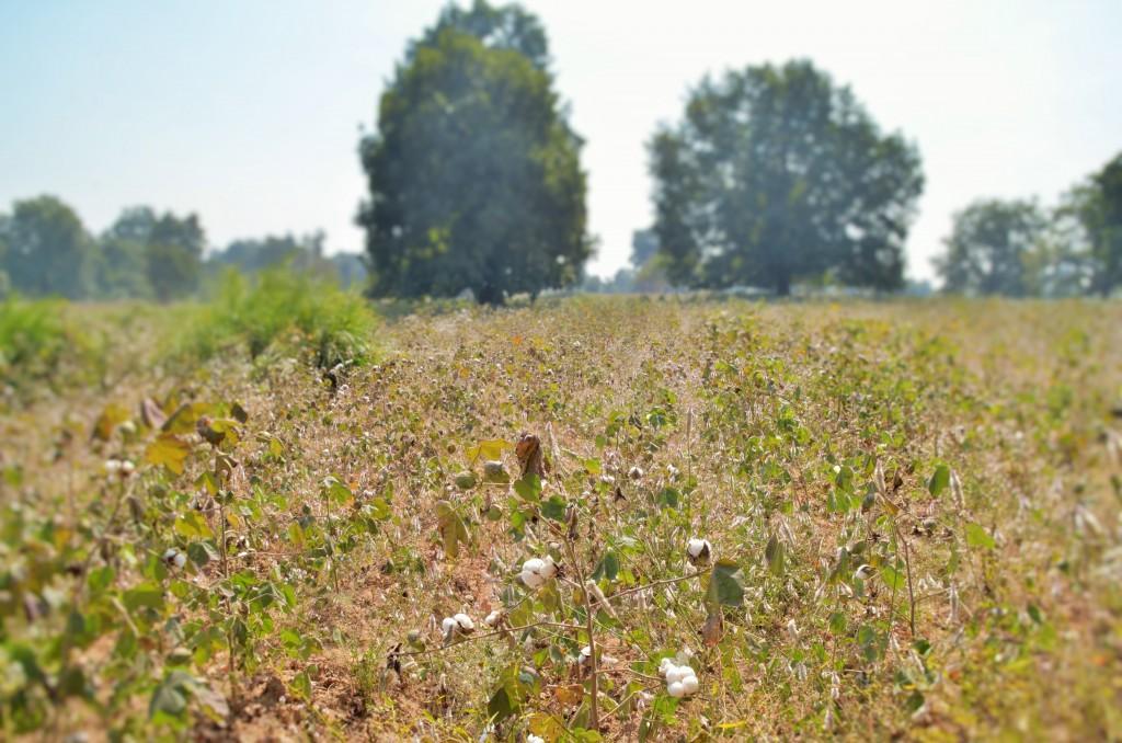 recoltă de bumbac organic